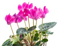 Bush pink flower cyclamen. Blooming bush pink flower cyclamen isolated on white background Stock Photo