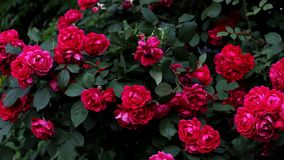 Blooming bush of pink roses full frame. At the beginning of the summer blooming bush of beautiful pink roses stock video footage