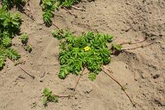 Blooming Bush of Potentilla anserina Stock Photo