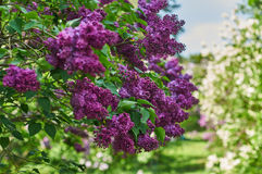 Blooming bush of purple lilac. Branch with spring lilac flowers. The spring season stock photos