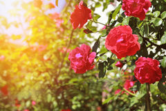Blooming bush of red roses against the blue sky. Blooming bush of red roses and the sunset royalty free stock photo