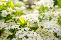 Blooming bush of spirea white flowers in sunset light royalty free stock photography
