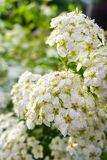 Blooming bush of spirea white flowers in sunset light stock photo