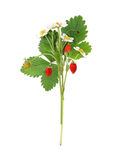 Blooming bush of strawberries Royalty Free Stock Photography