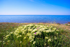 Blooming Bush with white flowers of meadowsweet on the beach. Royalty Free Stock Images