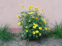 Blooming bush of yellow cone flowers Royalty Free Stock Photos