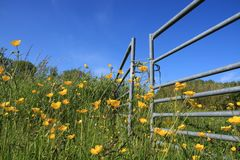 Blooming buttercups. Stock Photography