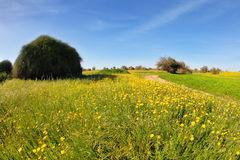 The blooming buttercups field Stock Images