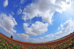 A blooming buttercups.  Photo taken fisheye lens Stock Photography