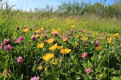 Blooming buttercups and shamrocks. royalty free stock images