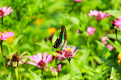 Blooming butterfly. Butterfly in a garden. Common indian craw Stock Photography