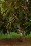 Blooming cacao tree. On farm plantation with white small flowers Stock Image