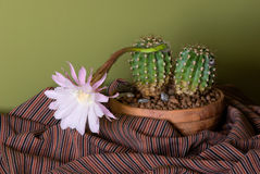 Blooming cactus. Cactus with light purple flower in brown rough pot, striped textile around, green wall on background Stock Photo