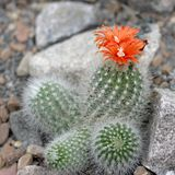 Blooming cactus Stock Photos