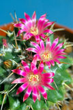 Blooming cactus Royalty Free Stock Photography