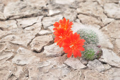 Blooming cactus. Kuktus on dried cracked earth. Desert flower. Desert plants. Scarlet red flowers. Prickly plant. Drought stock image