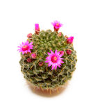 Blooming cactus. With red flowers on a white background Stock Image