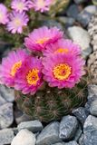 Blooming cactus. Rare occasion of blooming flowers of cactus in rock garden Stock Photo