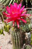 Blooming Cactus. Blooming flowers of cactus in arizona Stock Photography