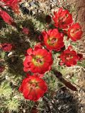 Blooming cactus, Arizona Desert Royalty Free Stock Photos