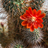Blooming cactus Aylostera. Royalty Free Stock Images