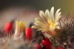 Blooming cactus. Close up with spikes stock images
