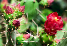 Free Blooming Cactus Closeup Stock Images - 28382724