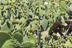 Blooming cactus Coccinellifera plantation. Cyprus. Stock Photo