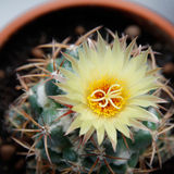 Blooming cactus Coryphantha. Royalty Free Stock Photo