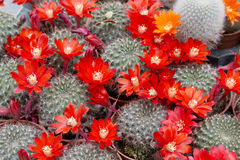Blooming cactus. Decorative blooming cactus grown for interiors and gardens royalty free stock photos