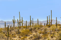 Blooming cactus in detail in the desert. With blue sky stock image