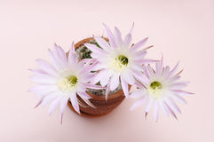 Blooming cactus Echinopsis Hybrid with three flowers Stock Photo