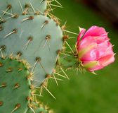 Blooming cactus flower. Pink bloom on thorny cactus stock image