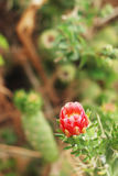 Blooming cactus flower Royalty Free Stock Images