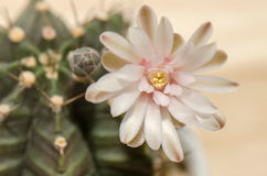 Blooming cactus flower. Soft pink blooming cactus flower royalty free stock photography