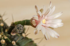 Blooming cactus flower. Soft pink blooming cactus flower stock images