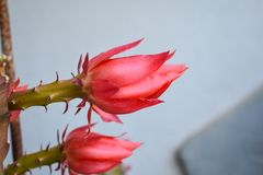 Blooming cactus flower. summer flowers. Flowers background stock photo