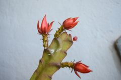 Blooming cactus flower. summer flowers. Flowers background royalty free stock photo