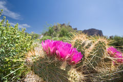 Blooming cactus flowers. In an Arizoina desert stock images