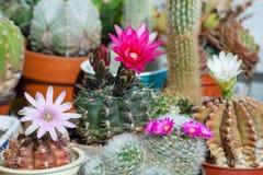 A blooming cactus garden. View of the blooming cactus garden stock photo