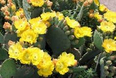 Blooming cactus Stock Photo