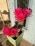 Blooming Cactus Stock Images