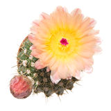 Blooming cactus, isolated Stock Photo