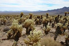 Blooming Cactus in Joshua Tree. National Oark in California royalty free stock photography