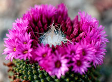 Blooming cactus Stock Photo