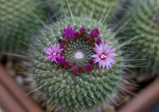 Blooming cactus Mammillaria Royalty Free Stock Photos