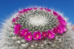 Blooming cactus Mammillaria on blue sky background Royalty Free Stock Images