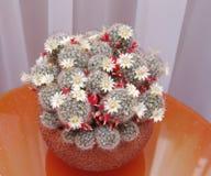 Blooming cactus Mammillaria Stock Photos