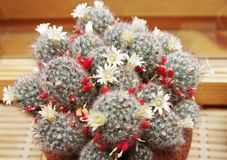 Blooming cactus Mammillaria Royalty Free Stock Images