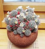 Blooming cactus Mammillaria Stock Photos